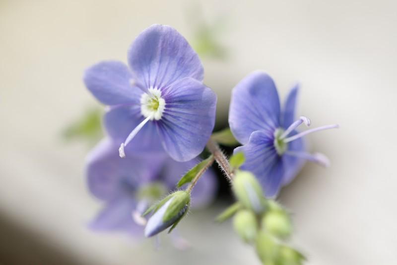Véronique petit-chêne (Veronica chamaedrys)