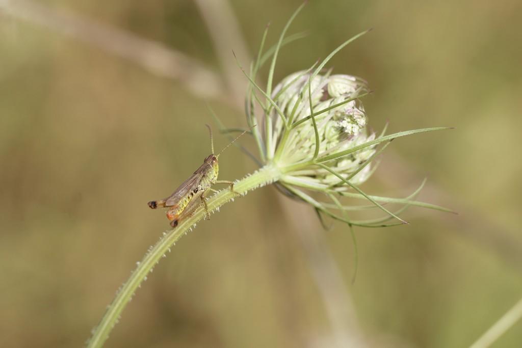 Criquet vert commun (Caelifera)