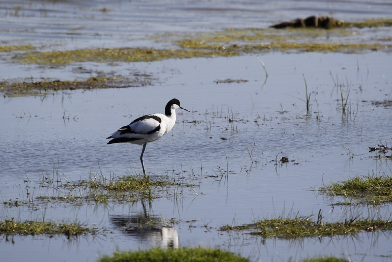 Avocette élégante (Recurvirostra avosetta)