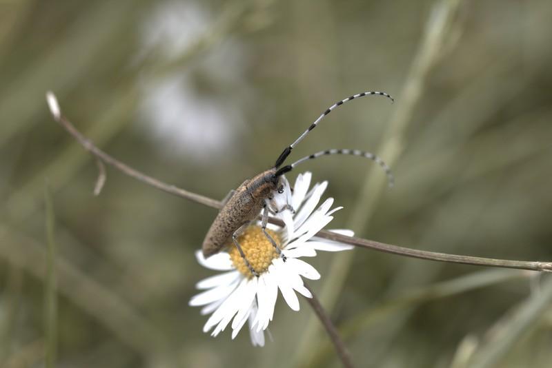 Agaphante du chardon (Agaphanthia cardui)