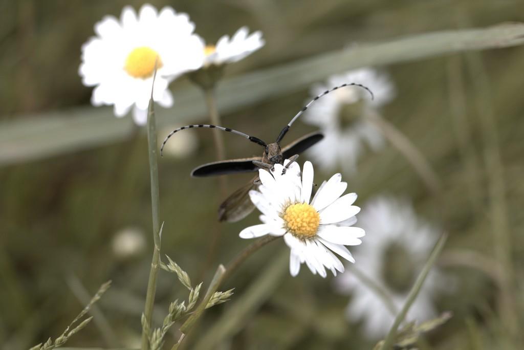 Agaphanthe du chardon ( Agaphanthia cardui)