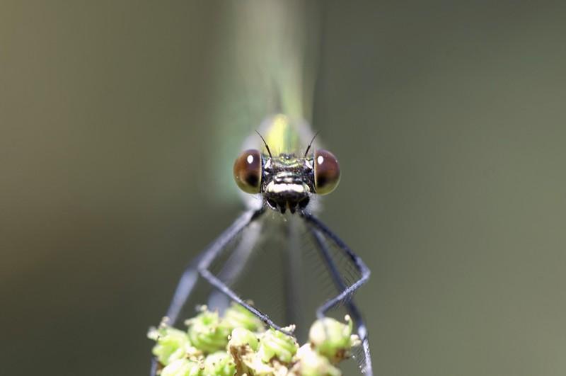 _MG_5283 Calopteryx xanthostoma (adonate Zygoptères) femelle