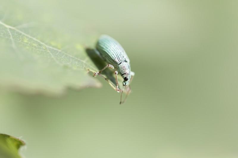 _MG_5745 (2) Charençon vert pâle  (Coléoptère Polydrusus impressifrons)