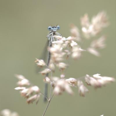 Agrion virgo (demoiselle)