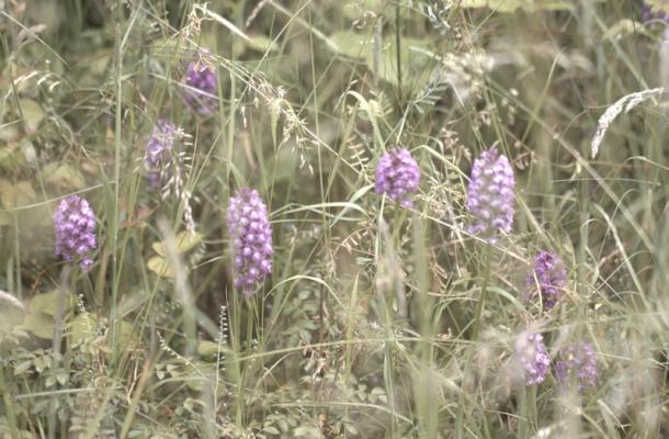 Satiron mâle (famille des orchidées)