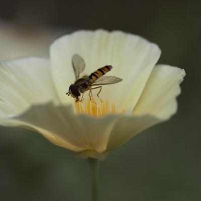 Syrphe (syrphidae)