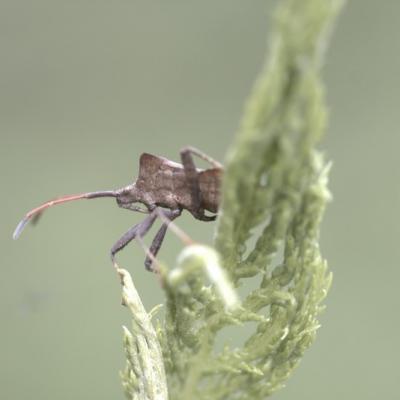 Punaise ( Syromastus rhombeus)