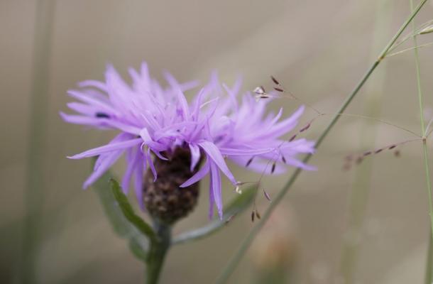 Bleuet (Centaurea cyanus)