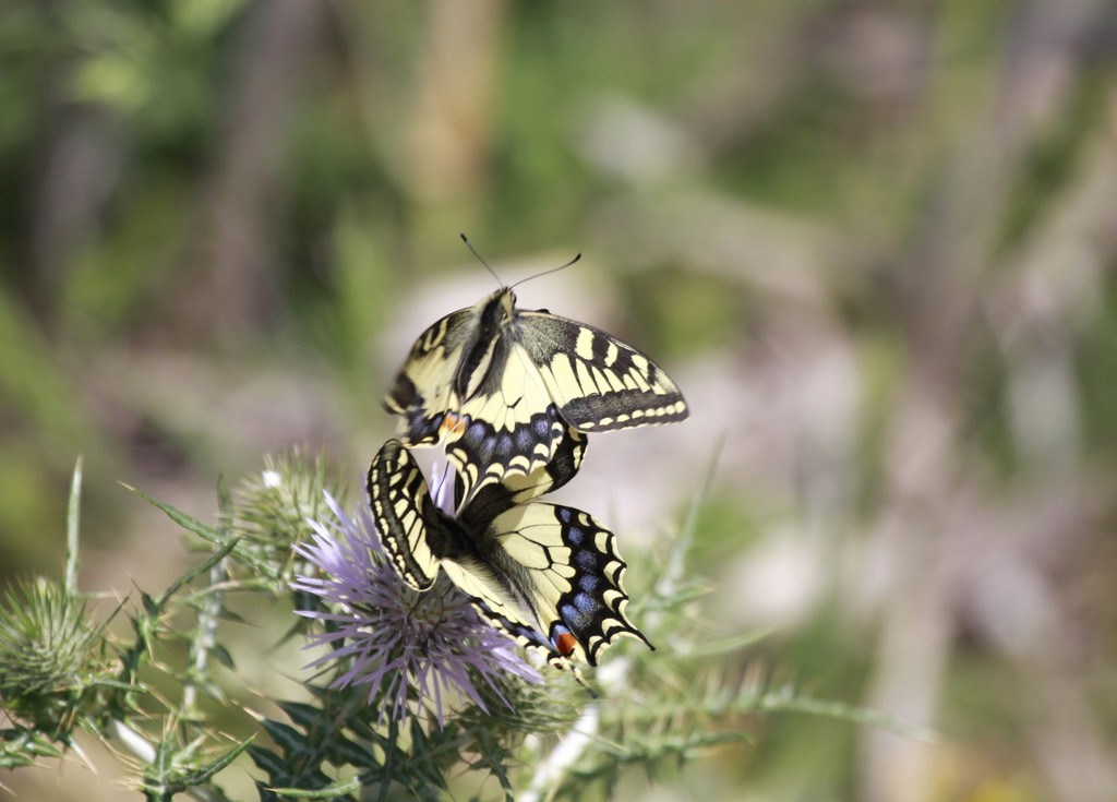 Machaons (Papillonidae)