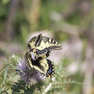 Machaons ( Papilio machaon)
